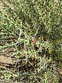 Cylindropuntia leptocaulis (Desert Christmas cholla).jpg