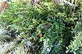 Cyrtomium falcatum - San Francisco Botanical Garden - DSC09927.JPG
