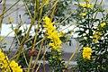 Cytisus x spachianus 7zz.jpg