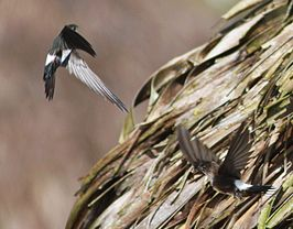 DRbirds Antillean Palm Swift c.jpg