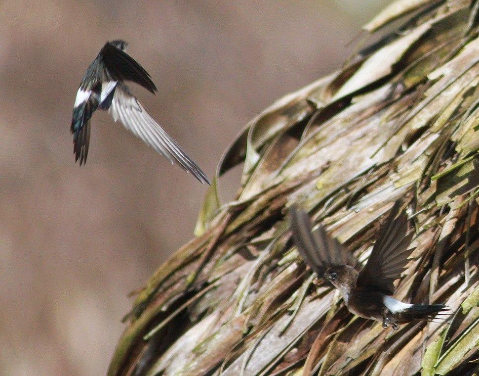 DRbirds Antillean Palm Swift c