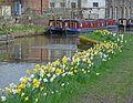 Daffodils (26402301601).jpg