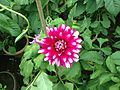 Dahlia with color blend.jpg
