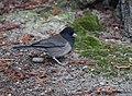 Dark-eyed Junco (Oregon) (43847835830).jpg