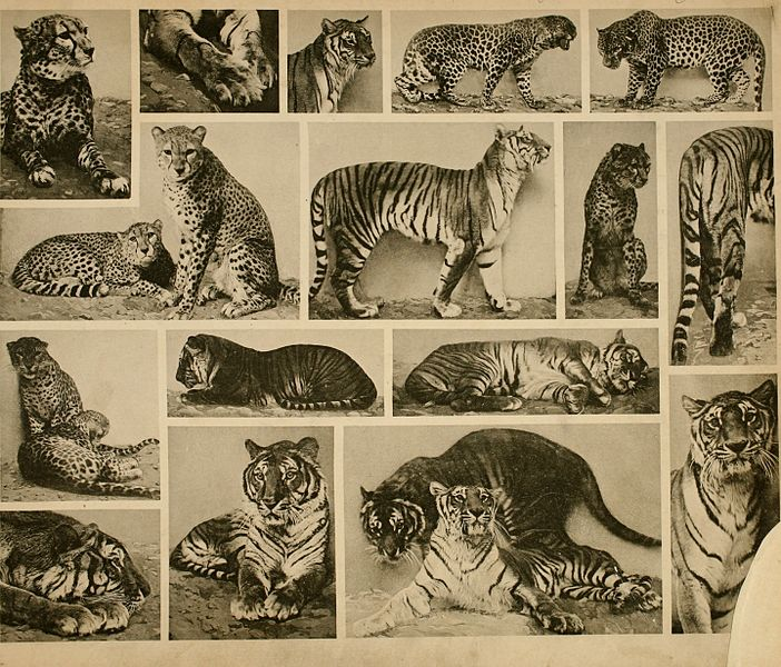 Images of wild cats in separate frames