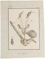Dasyprocta aguti - ingewanden - 1700-1880 - Print - Iconographia Zoologica - Special Collections University of Amsterdam - UBA01 IZ20600113.tif