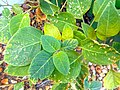Datura innoxia 02 leaves.jpg