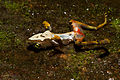 Dead Bd-infected Atelopus limosus at Sierra Llorona (posed to show ventral lesions and chytridiomycosis signs).jpg