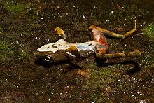 A dead frog laying on its back. On its hind legs are bright red lesions indicating infection with Batrachochytrium dendrobatidis