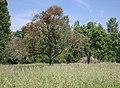 Dead tree and mistletoe - geograph.org.uk - 843306.jpg