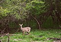 Deer (7004880138).jpg