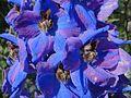 Delphinium × cultorum a2.jpg