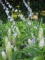 Delphinium carolinianum & Phytolacca acinosa (9292296498).jpg