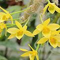 Dendrobium senile-IMG 2128.jpg