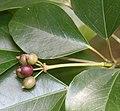 Dendropanax trifidus (fruits s5).jpg