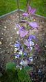 Der Muskatellersalbei, lat. Salvia sclarea 02.jpg