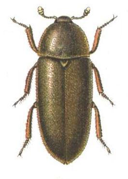Dermestes maculatus reitter