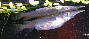 Live bearing aquarium fish wikipedia Livebearer aquarium fish