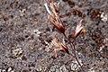 Deschampsia cespitosa - Flickr - aspidoscelis.jpg