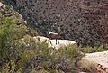Desert bighorn sheep often blend into their surroundings, but can be spotted by the careful eye. (4b0c4a0d-52b9-4d08-ba86-ad929556e2c8).jpg