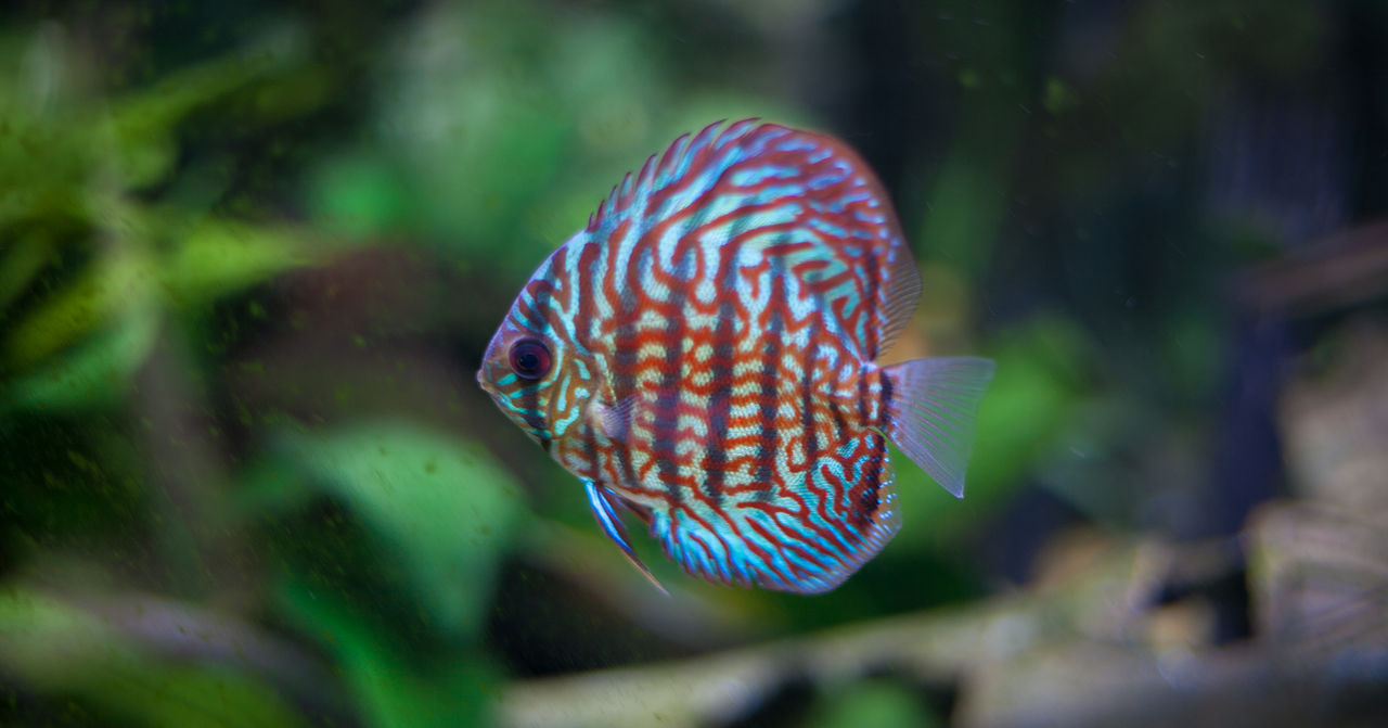 File:Desmond (a Red Turquoise Discus).jpg