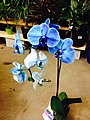 Diamond blue orchids - panoramio.jpg