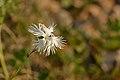 Dianthus arenarius arenarius - nõmmnelk Pakri1.jpg