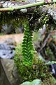 Dichaea laxa (Orchidaceae) (29638461163).jpg