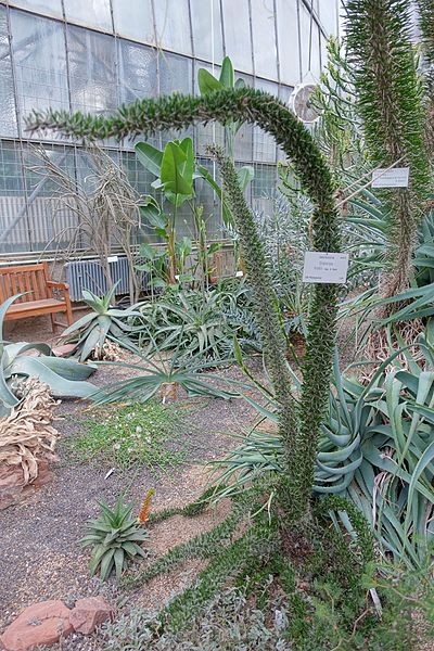 File:Didierea trollii - Botanischer Garten - Heidelberg, Germany - DSC01299.jpg