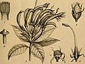 Die Natürlichen Pflanzenfamilien - nebst ihren Gattungen und wichtigeren Arten, insbesondere den Nutzpflanzen (1887) (20748027680).jpg