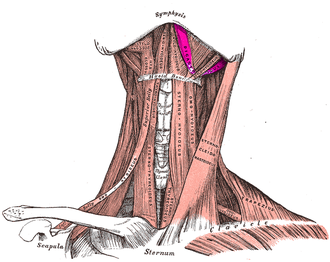 Digastric muscle - Anterior view of digastric muscle