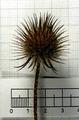 Dipsacus strigosus inflorescence (05).png