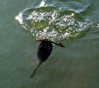 Surface wave - A diving grebe creates surface waves.