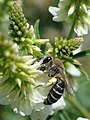 Donkere zijdebij op honingklaver.jpg