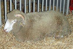 Dorset sheep.jpg