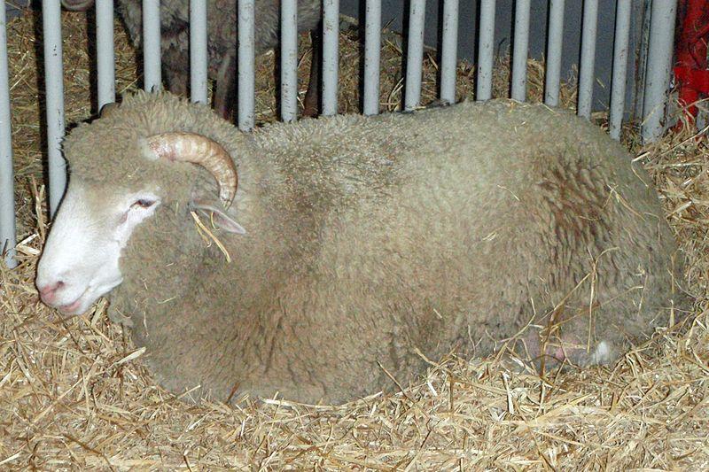 File Dorset Sheep Jpg Wikimedia Commons