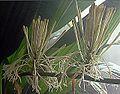 Dracaena aubryana (25992344714).jpg
