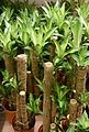 Dracaena fragrans for sale.jpg