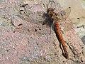 Dragonfly, Common Darter 'Sympetrum striolatum' - geograph.org.uk - 938014.jpg