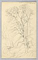 Drawing, Sketches. Trees., April 27, 1898 (CH 18368995).jpg