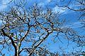 Dry Tree under blue sky.jpg