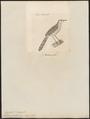 Drymoica gracilis - 1700-1880 - Print - Iconographia Zoologica - Special Collections University of Amsterdam - UBA01 IZ16200043.tif