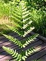 Dryopteris spinulosa 4-jgreenlee (5098046156).jpg