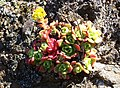 Dudleya-on-rocks-Marin.jpg