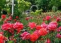 Duftende Schönheit, der Rosengarten im Kurpark Bad Mergentheim. 12.jpg