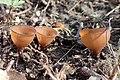 Dumontinia tuberosa kz01.jpg