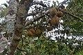 Durian Keluarga di Jumanbalno, Pegagan Hilir, Dairi, Sumut - panoramio.jpg