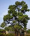 Durian tree.jpg