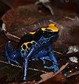 Dyeing Poison Frog (Dendrobates tinctorius) (39344586662).jpg