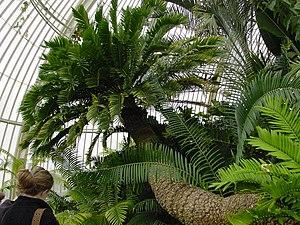 Zamiaceae - Image: E.altensteinii kg 011